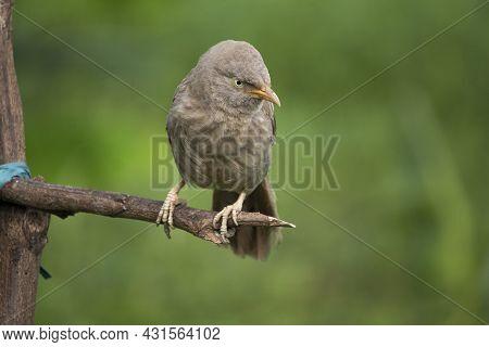 Close Up Of A Beautiful Indian Jangle Babbler Bird