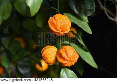 Bitter Orange Kikudaidai Growing In Japan Garden