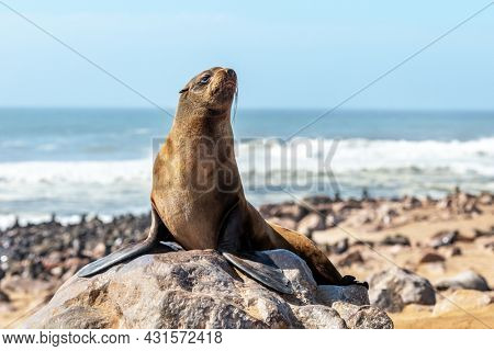 Fur seal enjoy the heat of the sun at the Cape Cross seal colony in Namibia, Africa. Wildlife photography
