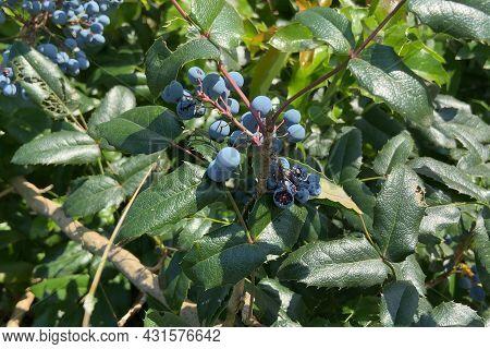 Fresh Organic Blueberrys On The Bush, Fresh Organic Blueberries On Blueberry Bush, Outdoors