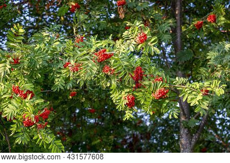 Close-up Of Beautiful Branches With Bunches Of Fruiting Red-fruited Mountain Ash. Early Autumn, Indi