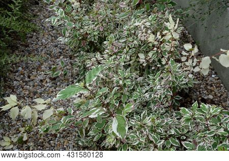 Bold White Edges Of The Leaves, Which Add To The Attractiveness Of The Tree Throughout The Season. D