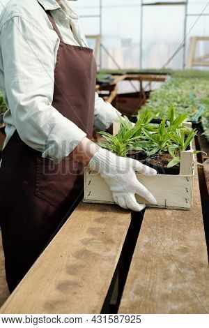 Contemporary female gardener in workwear putting wooden box with green flower seedlings on table