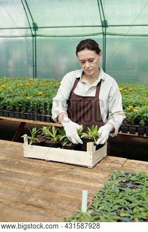 Gloved farmer in workwear putting pots with seedlings into wooden box while standing by table