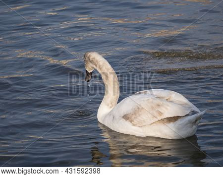 Close Up White Mute Swan, Cygnus Olor, Swimming On River Blue Water Suface In Sunlight. Selective Fo