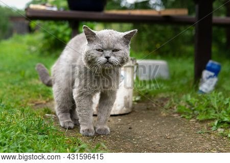 Sick British Short Hair Cat With Peeling Wool Outdoors In Summer