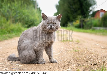 Male British Short Hair Cat Sitting On The Village Road In Summer