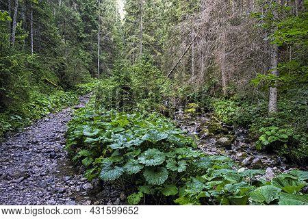 Coniferous Forest In Belianske Tatras Mountains, Slovak Republic. Hiking Theme. Seasonal Natural Sce