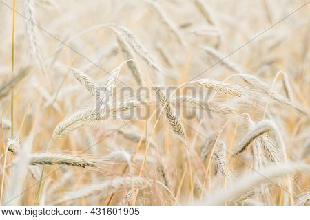 The Setting Sun Shines With Rays On The Ears Of Wheat. Backgrounds Of Field Wheat