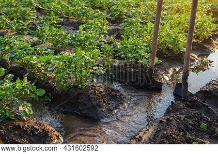 Potato Plantation Watering Management. Traditional Surface Irrigation. Beautiful Bushes Of Potatoes.