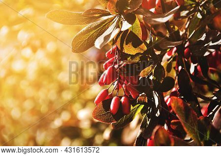 Autumn landscape, ripe barberry berries - in Latin Berberis- on the tree under the sunlight - focus at the central berries, shallow depth of field. Autumn trees, autumn landscape, autumn park nature