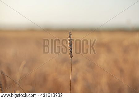 Ears Of Wheat Or Rye Growing In The Field At Sunset. Field Of Rye During The Harvest Period In An Ag