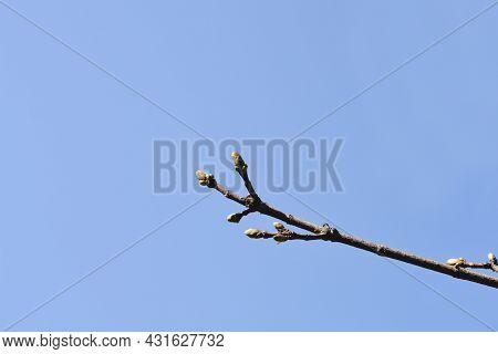 Norway Maple Globosum Branch With Bud - Latin Name - Acer Platanoides Globosum
