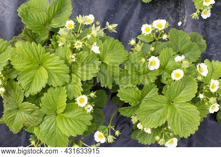 Top View On Healthy Bushes Of Young Strawberries. Blooming Strawberry Bushes. Summer Strawberry Seed