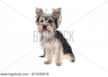 Beautiful and cute black and white yorkshire terrier dog over isolated background. Studio shoot of purebreed yorkie puppy.