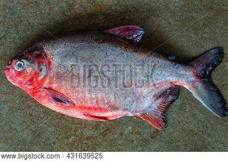 Pirhana Fish Sale In Fish Market Paccu Fish Culture