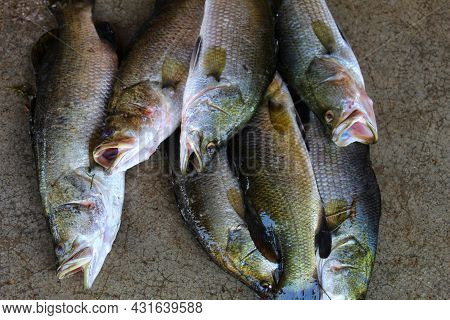 Pile Of Lates Calacarifer Fish Asian Sea Bass Fish On Ground In Indian Fish Market