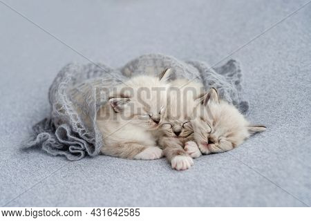 Three adorable fluffy ragdoll kittens sweety sleeping together under knitted blanket decoration on light blue fabric during newborn style photoshoot in studio. Cute napping kitty cats portrait