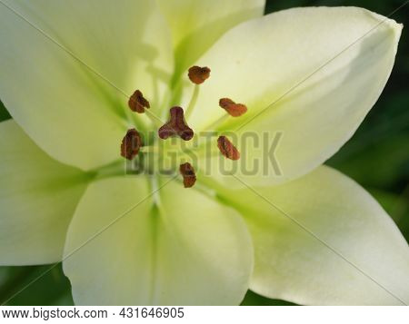 Pistil And Stamens Of A Lily Flower, Macro Photo.