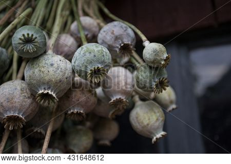 Close Up Of Bunch Of Opium Poppy (papaver Somniferum). Harvest Time. Poppy Heads Drying On Wooden Ba