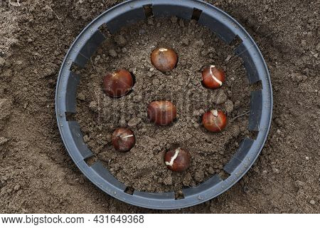 How To Plant Tulip Bulbs In The Open Ground In Autumn Or Spring. Top View Of The Plastic Container F