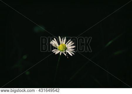 Close Up Of Blooming Daisy Flowers (bellis Perennis) In Garden On Spring Time. Lawn Daisy Or English