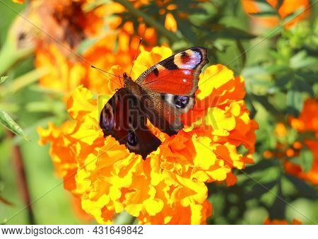 The Inachis Io Butterfly Sits On A Tagetes Flower In Summer And Drinks Nectar In The Garden. Daytime