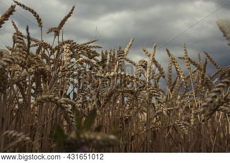 Deatail View Of Golden Common Wheat (triticum Aestivum) Field On Cloudy Blue Sky In Summer. Close Up