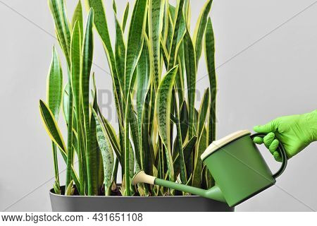 Hand In A Green Glove Watering A Houseplant From A Watering Can. Grow And Care For A Houseplant To D
