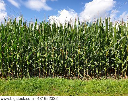 A Sideways Portrait Of A Field Of Corn Crops With Grass In Front Of It And A Blue Sky With Some Clou