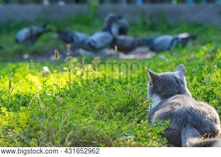 A Gray Cat, A Mixture, A Cross Between A British Breed, Lies On The Green Grass, Hiding, Watching An