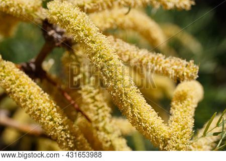 Yellow Raceme Inflorescences Of Honey Mesquite, Prosopis Glandulosa, Fabaceae, Native In Joshua Tree