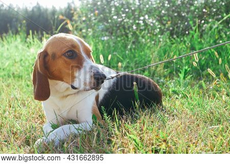 Beagle Dog. Estonian Hound Dog. Adorable Puppy For A Walk On The Green Lawn In The Rays Of The Sunse