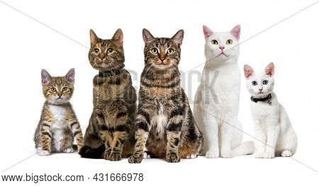 Large group of crossbred domestic cats, adult and kitten, sitting in a row, pets, isolated on white
