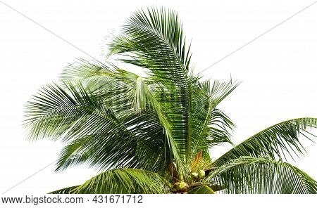 Leaves Of Coconut Tree Isolated On White Background, Clipping Path Included.