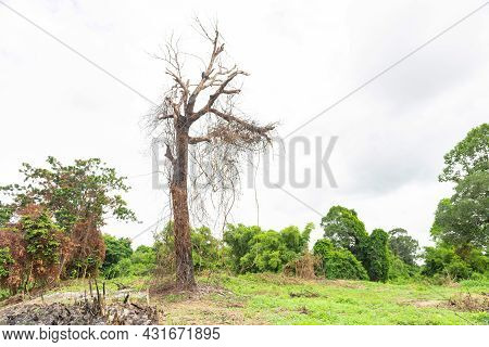 Dry, Dead  Tree Is Standing At The Edge Of A Forest,dead  Tree Without Leaves.