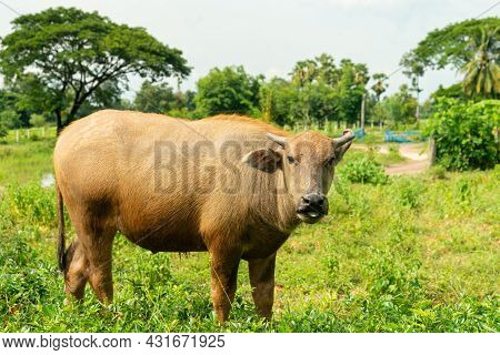 Young Water Buffaloes Standing In  The Meadow.