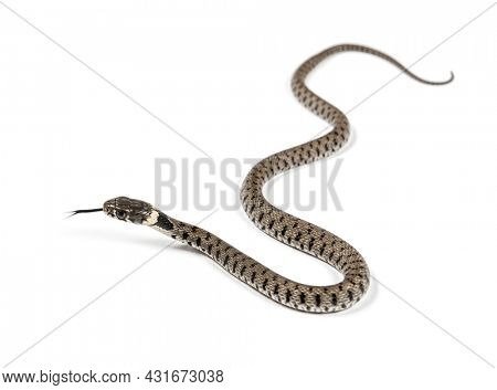 Grass snake crawling and sniffing the air, Natrix natrix, Isolated on white