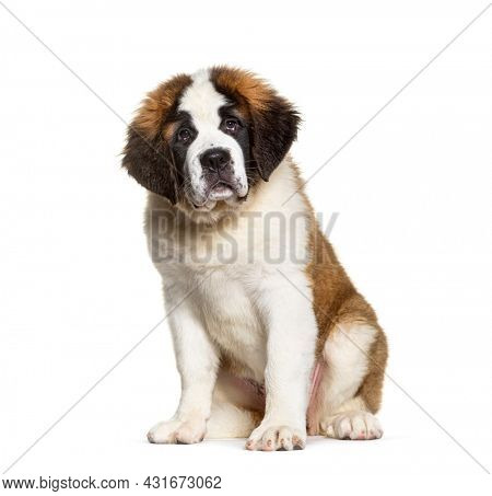 Saint Bernard dog puppy ,three months old, sitting looking at camera, isolated on white