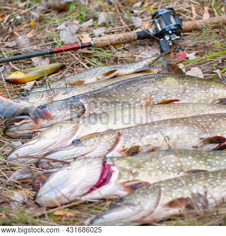 Pikes, Rod And Baitcasting Reel On Dry Grass