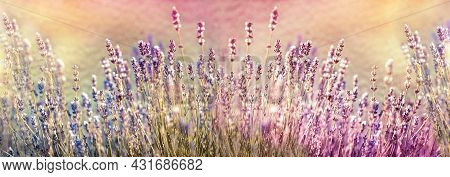 Selective And Soft Focus On Lavender Flower, Beautiful Lavender Flower, Flowering Lavender In Flower
