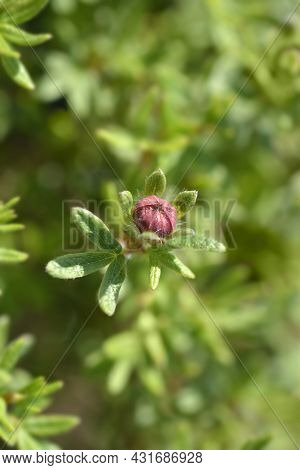 Shrubby Cinquefoil Red Ace Flower Bud - Latin Name - Potentilla Fruticosa Red Ace