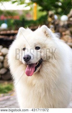 Portrait Of A Purebred White Samoyed Dog (husky, Bjelkier, Sammy, Laika, Spitz) Outdoors. Playful Pe