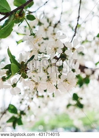 Branch Of Blossoming Cherry Plum In The Garden Close-up