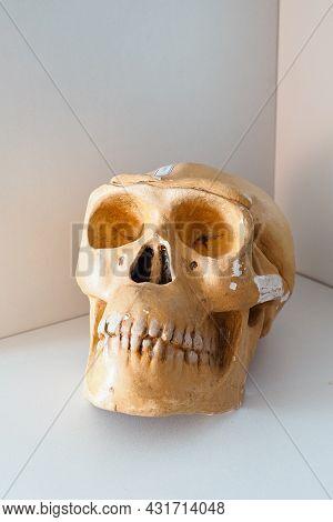 Teaching Anatomical Skull Of Pithecanthropus Close Up