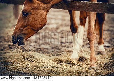 Portrait Of A Red Horse With A White Stripe On The Muzzle, Walking In The Levada. A Red Horse Eats H