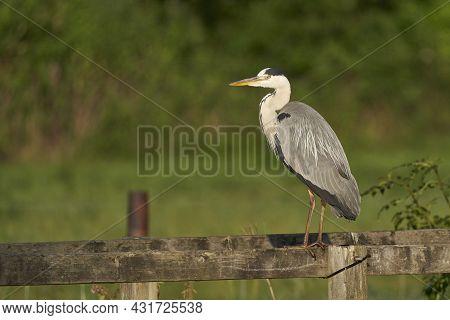Grey Heron (ardea Cinerea) Perched On The Wooden Railings Of A Bridge Over A Stream In Wiltshire, En