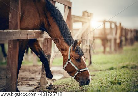 Portrait Of A Bay Horse With A White Stripe On The Muzzle, Walking In The Levada. Sporty Young Stall