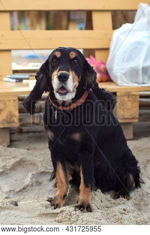 Old Cheerful English Cocker Spaniel With Brown Eyes Sits On The Sea Sand, Black And Tan, Hunting Dog
