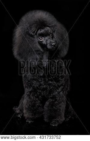 Black toy poodle puppy sits on a Black background